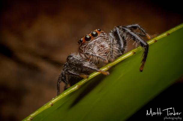 001 Jumping Spider 20151017