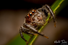 002 Jumping Spider 20151017
