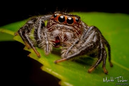 003 Jumping Spider 20151017