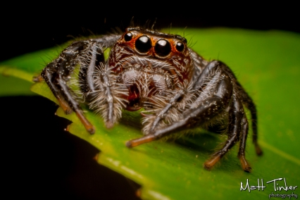 003 Jumping Spider 20151017
