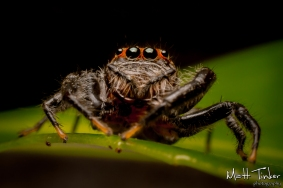 004 Jumping Spider 20151017