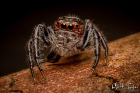 013 Jumping Spider 20151017