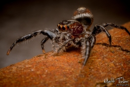 016 Jumping Spider 20151017
