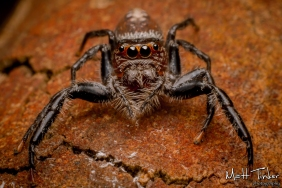 018 Jumping Spider 20151017