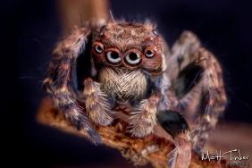 20150517 Jumping Spider 092