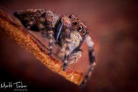 20150517 Jumping Spider 102