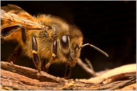 Bee 1 - Matt Tinker