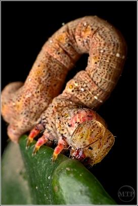 Caterpillar 2 - Matt Tinker