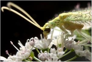 Green Lacewing - Matt Tinker