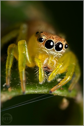 Jumping Spider 2 - Matt Tinker
