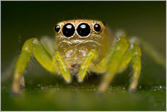 Jumping Spider 3 - Matt Tinker