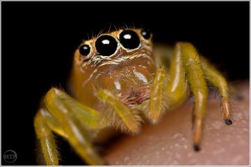 Jumping Spider 4 - Matt Tinker
