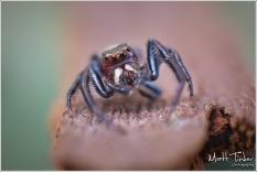 Jumping Spider - Matt Tinker