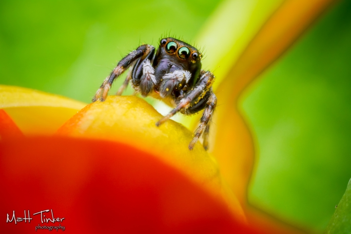 Jumping Spider 220151024-2
