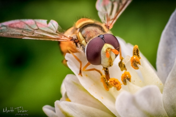 024 - Hoverfly - 20151127-Edit