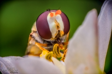045 - Hoverfly - 20151127-Edit