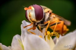 048 - Hoverfly - 20151127-Edit