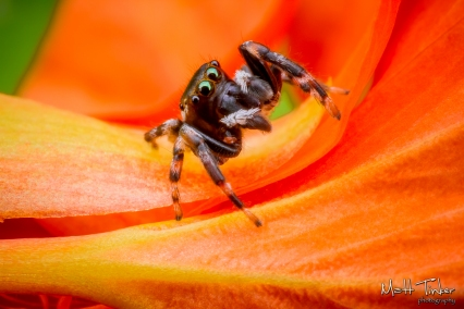 Jumping Spider 20151024 - 01