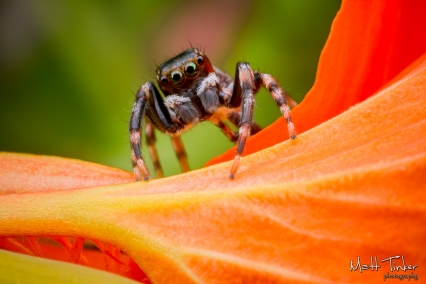 Jumping Spider 20151024 - 04