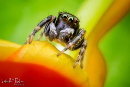 Jumping Spider 20151024 - 07