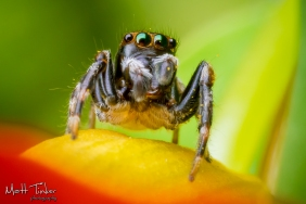 Jumping Spider 20151024 - 08