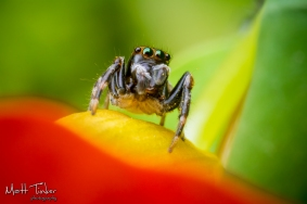 Jumping Spider 20151024 - 09