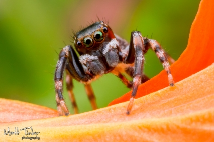 Jumping Spider 220151024